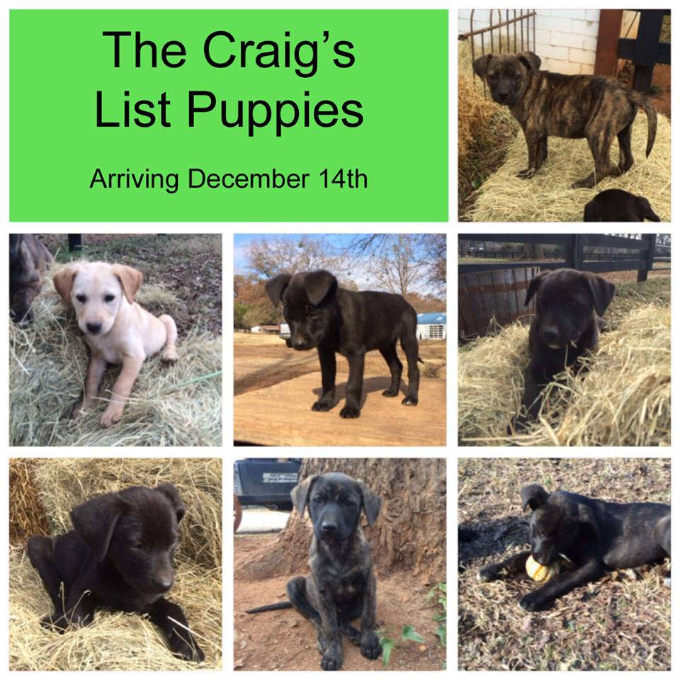 Fosters Needed for Craigslist Puppies – Maine Lab Rescue