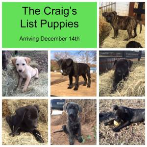 Maine Lab Rescue - Fosters Needed for Craigslist Puppies